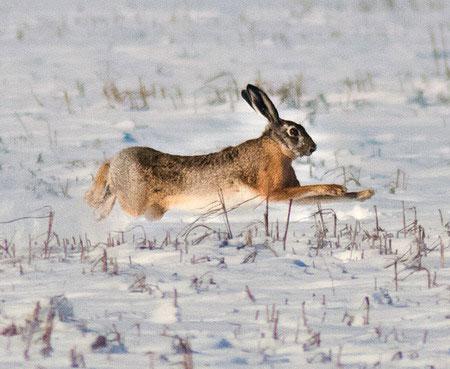 Тропление русака по пороше и глубокому снегу