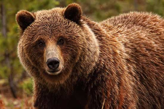 Охота на овсах на медведя