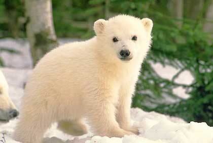 Белые медведи, биология, фото и видео