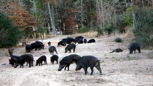 В Испании открыта охота на кабана с луком
