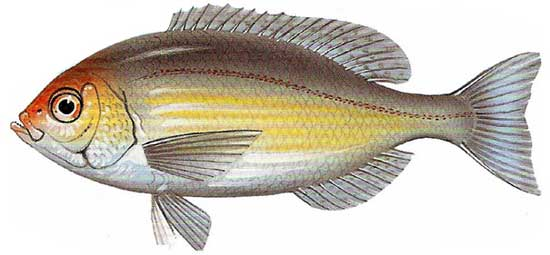 fish bream