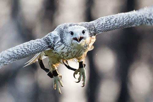 Ловчие птицы, типы и охота с ними