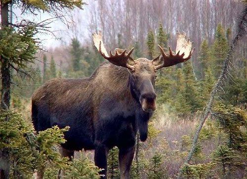 Охота на лося подбор видео (18+)