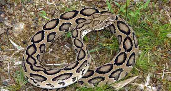 Змеиные укусы, как выжить