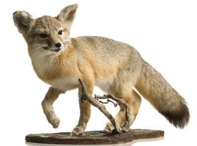 Таксидермия - чучела из животных