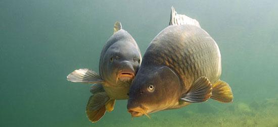 Особенности карпа, интересная рыба