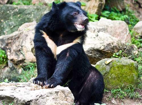 Охота на белогрудого медведя - способы