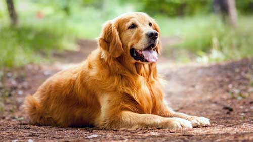 Золотистый ретривер друг человека, великолепный охотник!