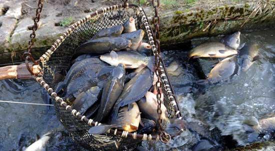 Бизнес-план: разведение рыбы карп