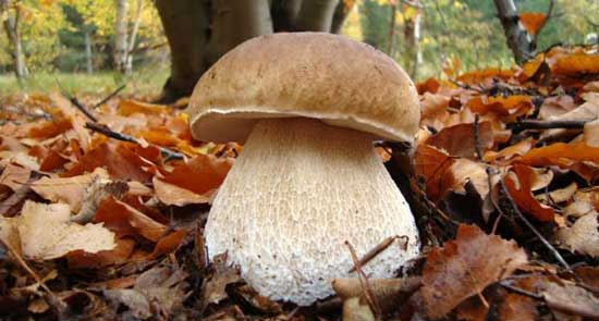 Как приготовить белые грибы, рецепты