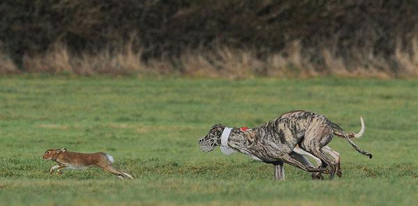 Охота с гончей на зайца