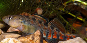 espectabile etheostoma