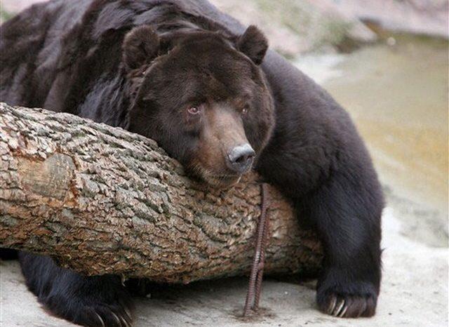 Охота на медведя с луком опасна, видео
