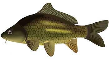 Карп прудовой - породы и подвиды рыбы