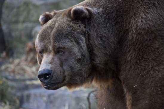 Крупнейшие виды медведей, которые добывались