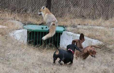 Натаска или притравка норных собак