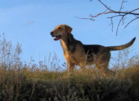 Как выбрать собаку для охоты