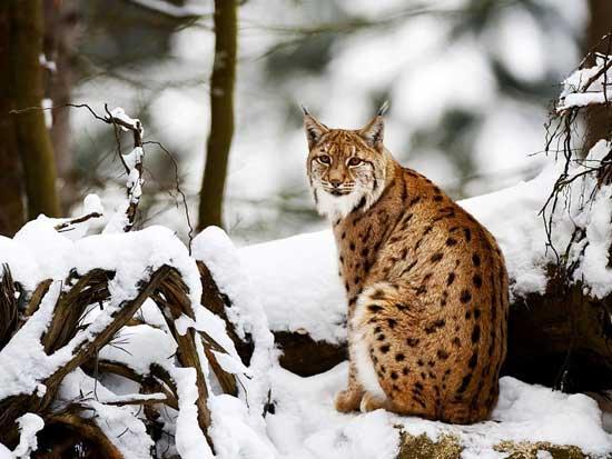 Охота на рысь с лайкой и гончими зимой