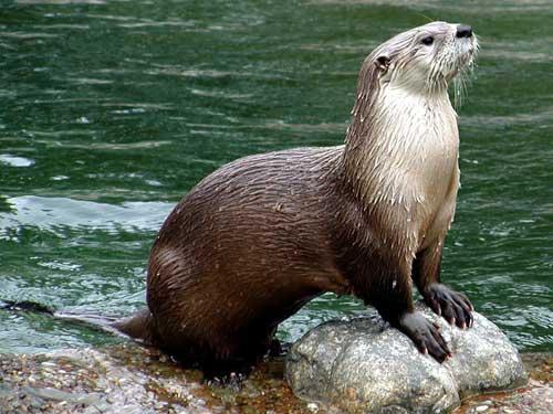 Охота на водяную выдру - способы описание