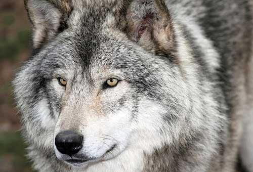 Нападение волка в Казахстане
